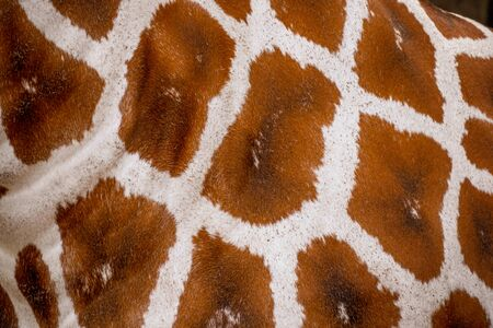 Giraffe skin and fur texture and Background Banco de Imagens
