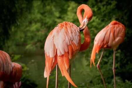 Flamingo cleaning its pink feathers with its beak