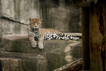 Jaguar perched on a rock bed