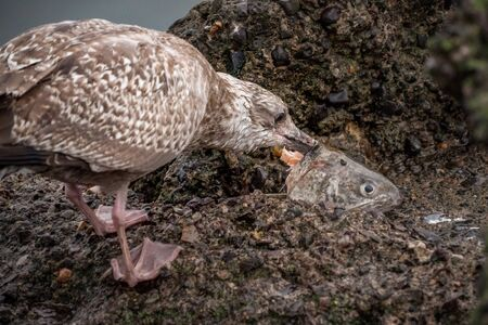 Seagull eating a fish head for food on a rock Stockfoto