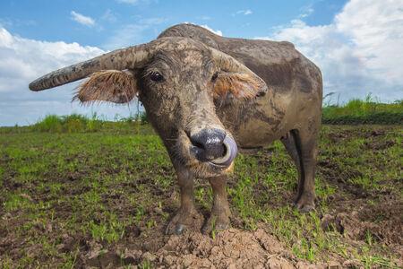 Thai buffalo on the ranch farm photograph shot with wide angle lens photo