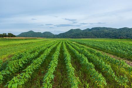 schwarzer Sesam Feld mit Berg im Hintergrund und blauer Himmel