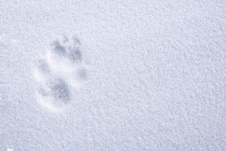 Paw printed on snow surface Stock Photo