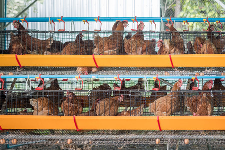 Chicken in cages where they lay their eggs. Chicken farm 版權商用圖片