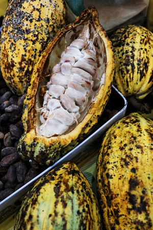 Fresh cocoa pod cut exposing cocoa seeds with some cocoa beans in tray Reklamní fotografie