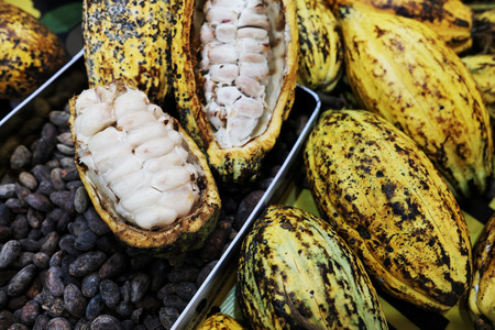 Fresh cocoa pod cut exposing cocoa seeds with some cocoa beans in tray Reklamní fotografie - 119771634