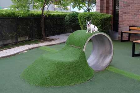 Little dog Chihuahua standing in playground artificial garden for pets