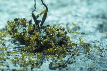 Dead fly being eaten by many red ants Standard-Bild