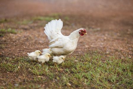 Hen and hers babies chicken running on grass field Stok Fotoğraf