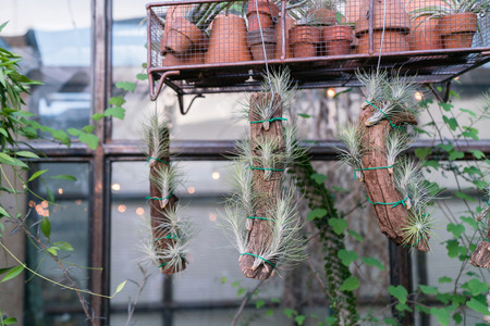 Dried tillandsia tied to pieces if wooden stick, garden interior industrial rustic style Stok Fotoğraf - 119845224