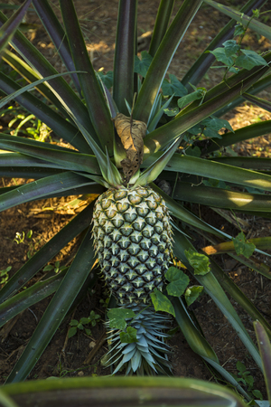 Pineapple tree, grew ripened and big enough that almost fall off its tree Imagens