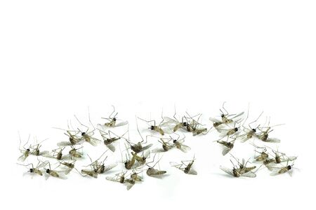 Dead mosquitoes on white background