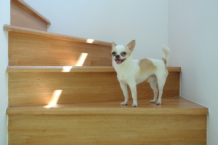 Chihuahua on the wooden stair Stock Photo