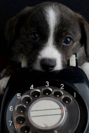 Little puppy on old vintage phone Standard-Bild
