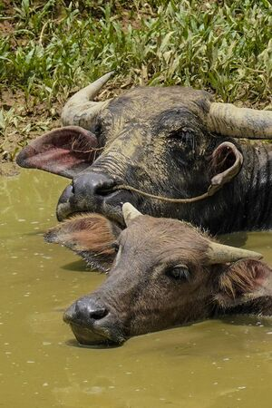 Water buffaloes  soaking themselves in in small basin