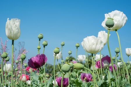 Opium poppy and flowers field with blue sky