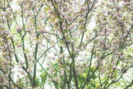 Sakura blooming in Japan, color filter applied