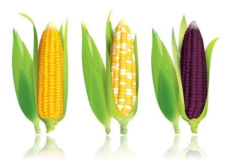 maize: corn isolated on white background