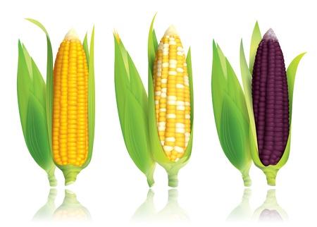 mazorca de maiz: ma�z aisladas sobre fondo blanco