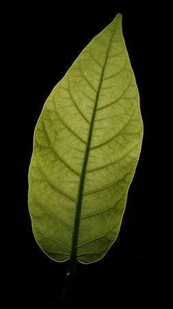 green leaf on black background Standard-Bild