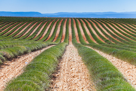 Lavender field in France Stock Photo