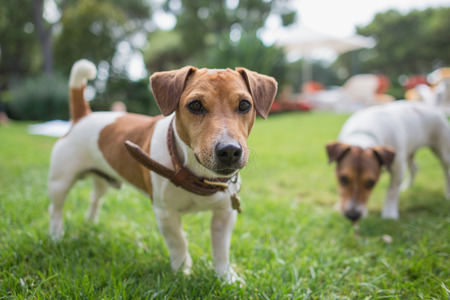 Jack russell terrier stands on green grass