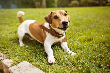 Jack russell terrier in collar smiling on grass