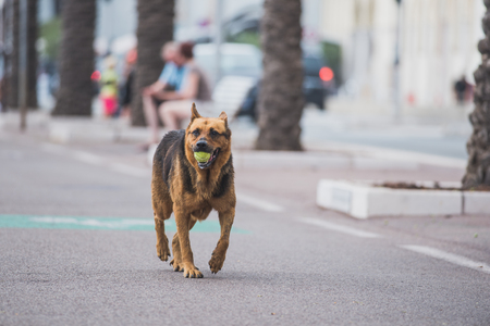Shepherd dog carries tennis ball Stock Photo