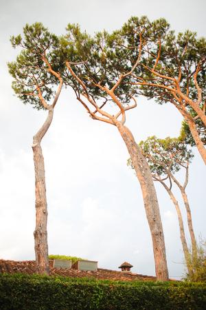 High coniferous trees