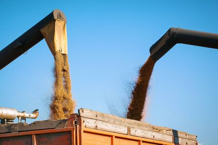 combine harvester pours grain