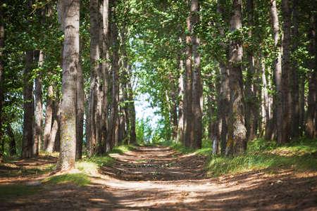 arbol alamo: Bosque del árbol de álamo