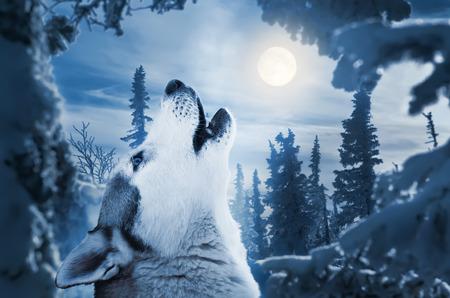 huilend naar de maan Stockfoto