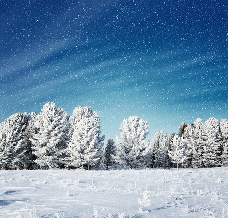 spruce tree: snowing in spruce tree forest