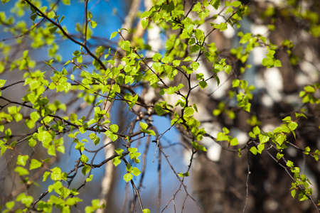 spring green: young spring leafs