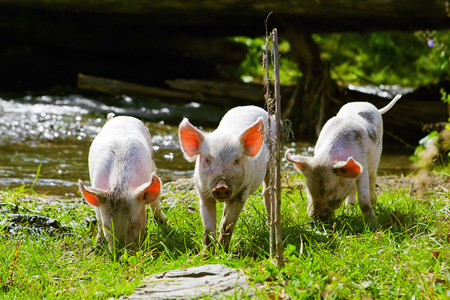 young pig: three little pigs