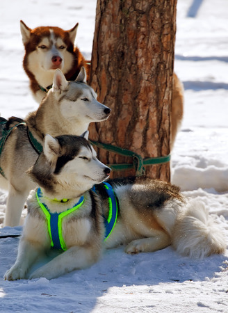 sled dogs: sled dogs