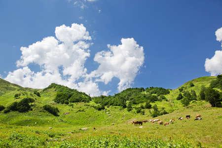 alpen: cows at alpen pasture Stock Photo