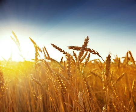 grain fields: wheat at sunset