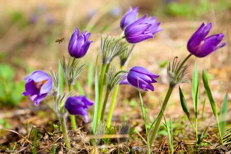 pasqueflower: pasqueflower Stock Photo