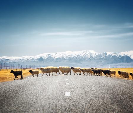 Schafe auf der Straße Standard-Bild - 58652556
