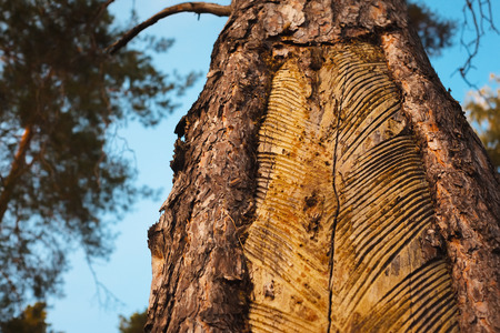 sap. galipot. carvings on the pine tree. Stock Photo
