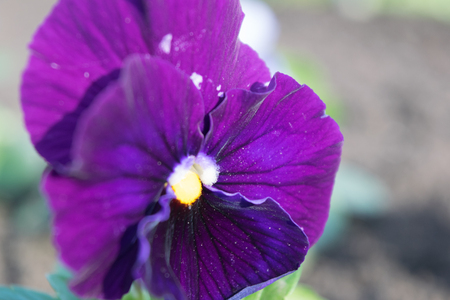 Pansies, viola folio, bright, saturated with close-ups Stock Photo