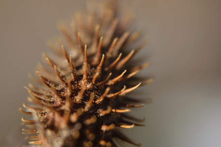 brown little lump prickle with dust particles and dew in the sunlight at sunset in macro