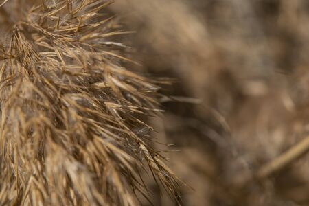 fluffy golden brush reeds in the sunlight closeup Stock Photo