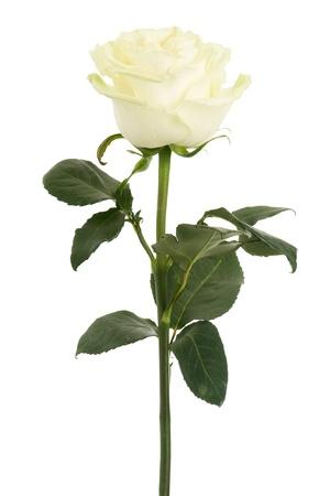 줄기: 아름다운 화이트 로즈는 흰색 배경에 고립