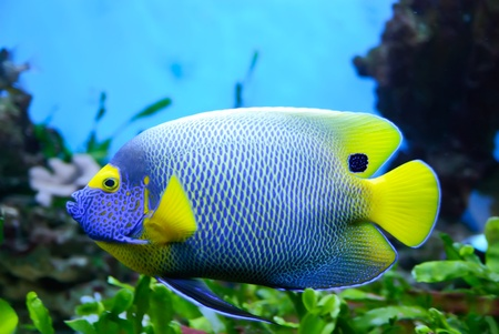 Side view of bluefaced Angelfish (Pomacanthus xanthometapon) swimming