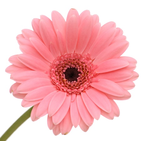 closeup of pink daisy with: Beautiful pink gerber with stem isolated on white background