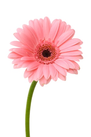 Pink daisy flower with stem isolated on white background