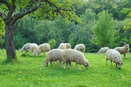 Flock of sheep grazing beneath a tree on fresh spring meadow Zdjęcie Seryjne