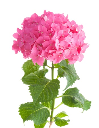Bright pink hydrangea isolated on white background